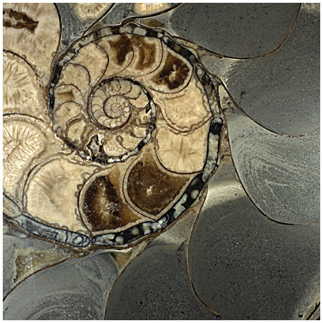 Photo of Fossilized Ammonite
